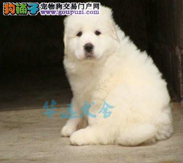 国内最具规模的大白熊繁殖犬舍,保纯种保健康