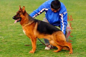 最大的狼狗繁殖基地、品质保障、全国办理托运