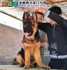 权威机构认证犬舍、专业狼狗繁殖 完美售后