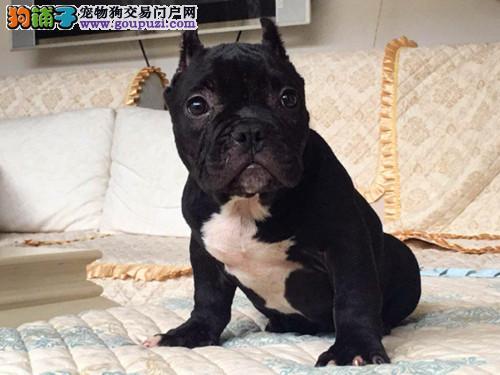 犬舍直销美国恶霸犬宝宝 希望能够找到喜欢它们的主人