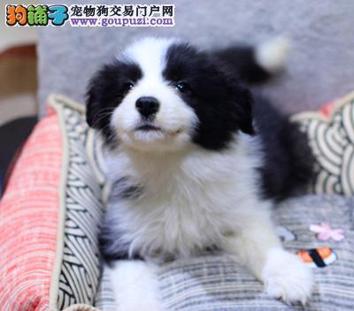 纯种边境牧羊犬幼犬出售、希望能够找到喜欢它们的主人