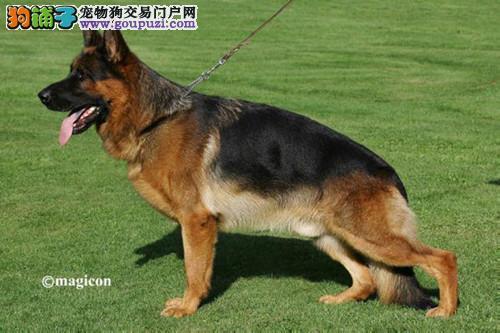 纯种德国牧羊犬幼犬公母都有/csv认证品质绝对保证
