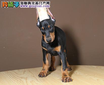 专业培育纯种精品杜宾幼犬/CKU认证品质绝对保证