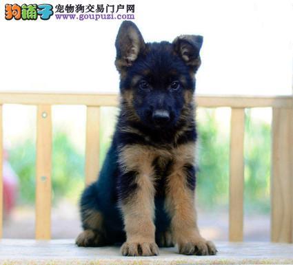 专注于培育中高端宠物基地 纯种德国牧羊犬待售