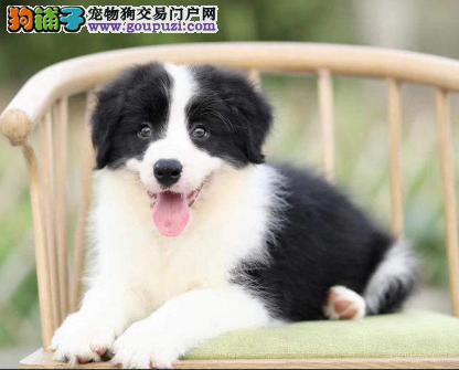 专注于培育中高端宠物基地 纯种边境牧羊犬待售