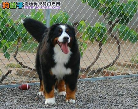 正规犬舍繁殖 赛级品质 纯种伯恩山幼犬出售