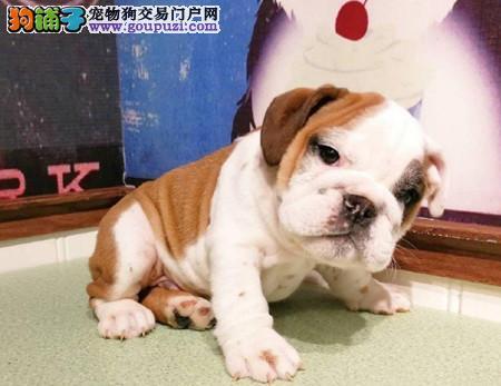 正规犬舍繁殖 赛级品质 纯种英国斗牛犬幼犬出售