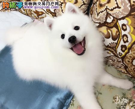正规犬舍繁殖 赛级品质 纯种银狐幼犬出售
