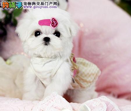 正规犬舍繁殖 赛级品质 纯种马尔济斯幼犬出售