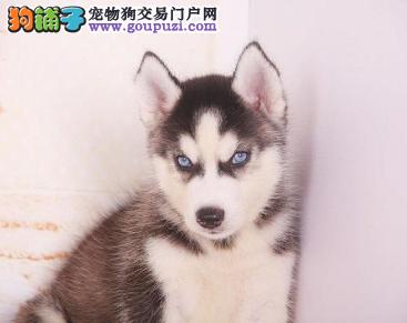 专业犬舍繁殖精品哈士奇幼犬CKU认证绝对信誉