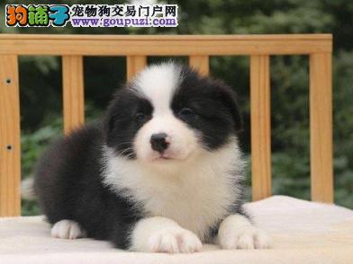 自家直销边牧犬宝宝/CKU认证品质绝对保证