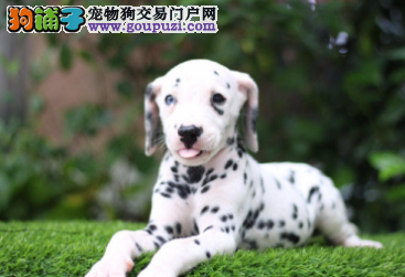 自家直销斑点犬宝宝/CKU认证品质绝对保证