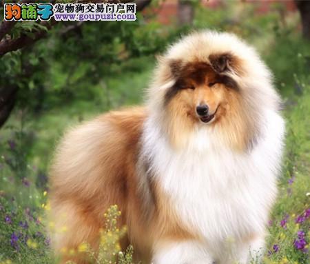 专注于培育中高端宠物基地 纯种苏格兰牧羊犬幼犬待售