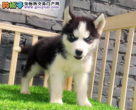 专注于培育中高端宠物基地 纯种哈士奇幼犬待售