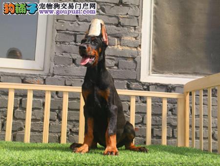 专注于培育中高端宠物基地 纯种杜宾幼犬待售