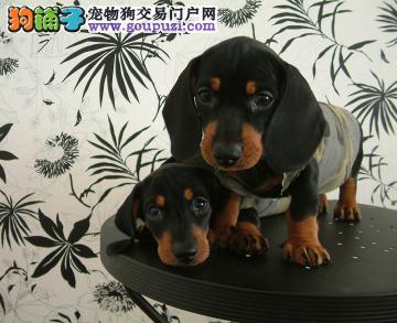 CKU认证犬业专业繁殖腊肠宝宝 绝对信誉