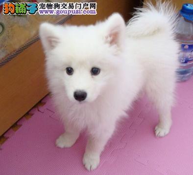CKU认证犬业专业繁殖银狐宝宝 绝对信誉