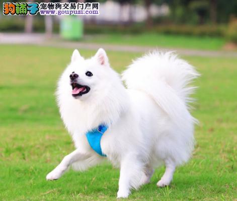 犬舍直销听话的银狐宝宝/CKU认证品质绝对保证血统保障