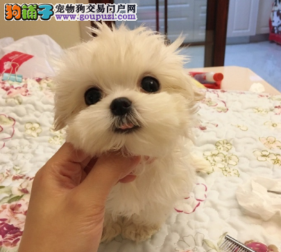 最受欢迎的马尔济斯犬/幼崽待售中