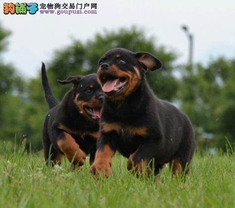 猛犬 忠实护卫犬 罗威纳 警犬.防暴犬