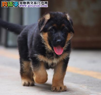 德牧又名黑背.长期做为警犬的工作犬纯种保健康