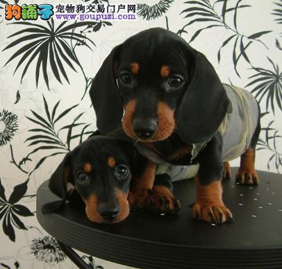 犬场直销听话可爱腊肠宝宝保证健康和纯种