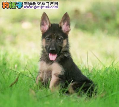 犬场出售纯种的德牧幼犬宝宝,非常帅 品相好纯种健康