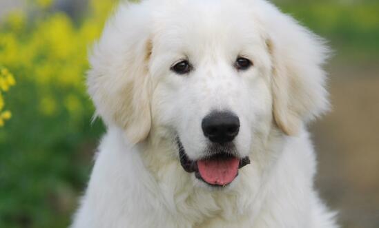面相非常老实的大白熊犬,应该如何去挑选