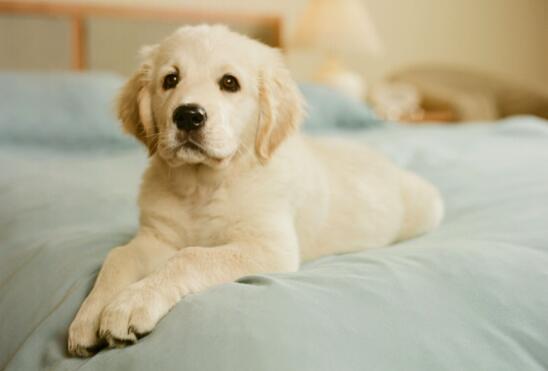 幼犬训练至关重要!如何对金毛进行服从性训练?