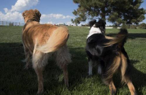 想要养一只聪明的狗子,选金毛还是选边牧呢