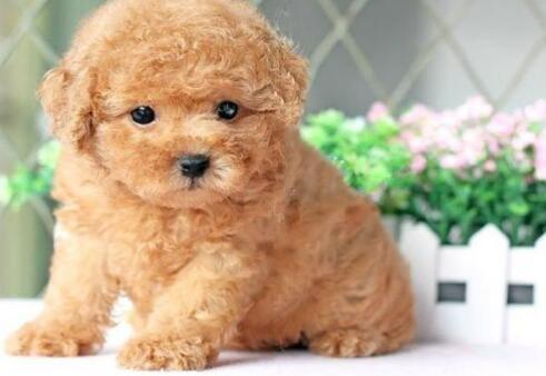 如果想养一只可爱的泰迪犬,需要注意什么
