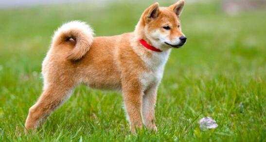 如果家里的秋田犬经常喷嚏不止,这是什么原因导致的呢