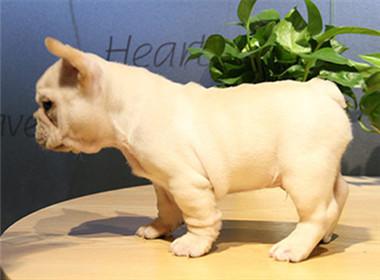 CKU 纯种法国斗牛犬狗狗带血统证书芯片齐全