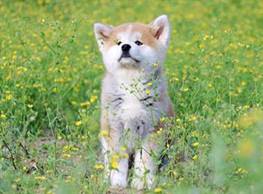 纯种秋田犬幼犬宠物 希望能够找到喜欢它们的主人