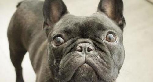 喜欢长得很酷的狗狗,就养一只英国斗牛犬吧