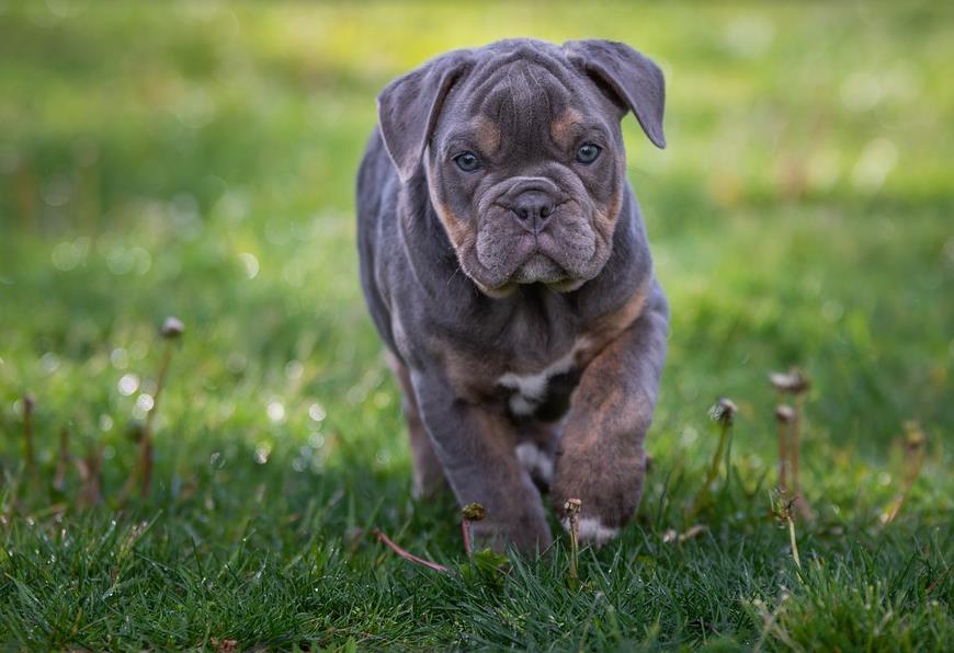 怎样挑选到一只健康的英国斗牛犬,教你5招