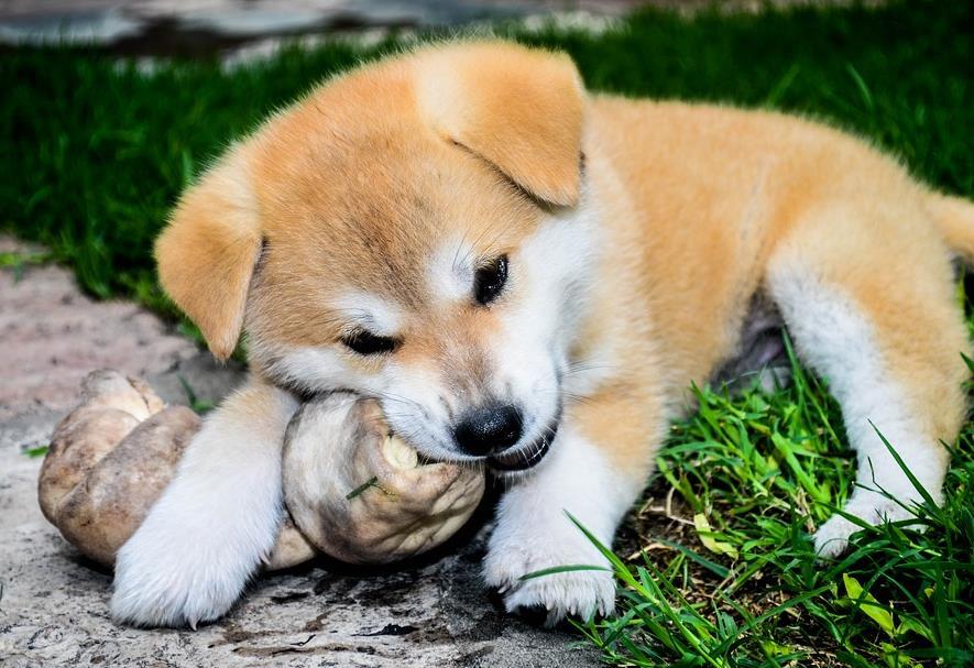 秋田犬身上有跳蚤,应该怎样给它去除呢