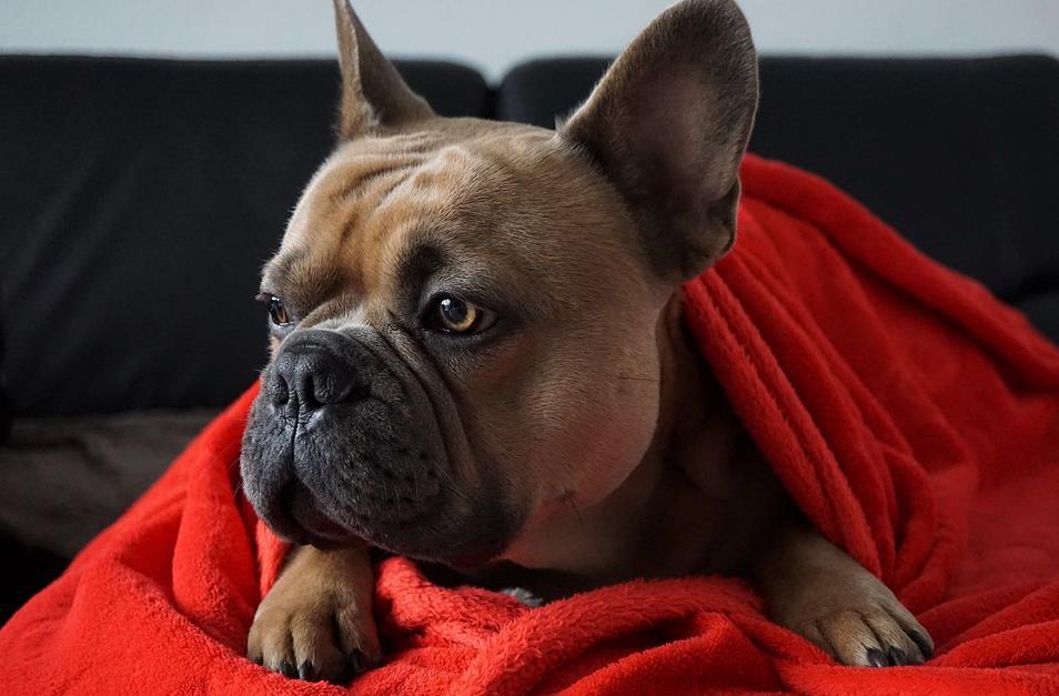 法国斗牛犬的智商怎么样?为什么养的人这么多