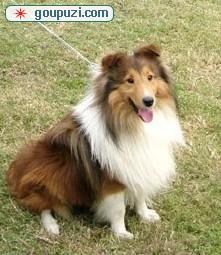 广州喜乐蒂犬价格广州喜乐蒂犬多少钱一只喜乐蒂犬