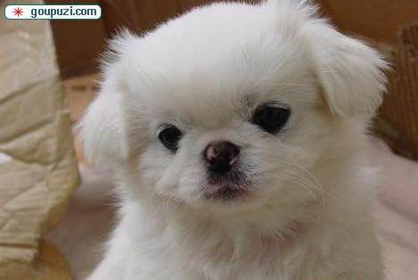 极品京巴幼犬、可看狗狗父母照片、全国送货上门