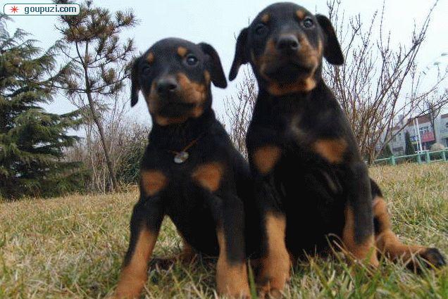 CKU国家权威认证犬舍,出售赛级杜宾德牧幼犬