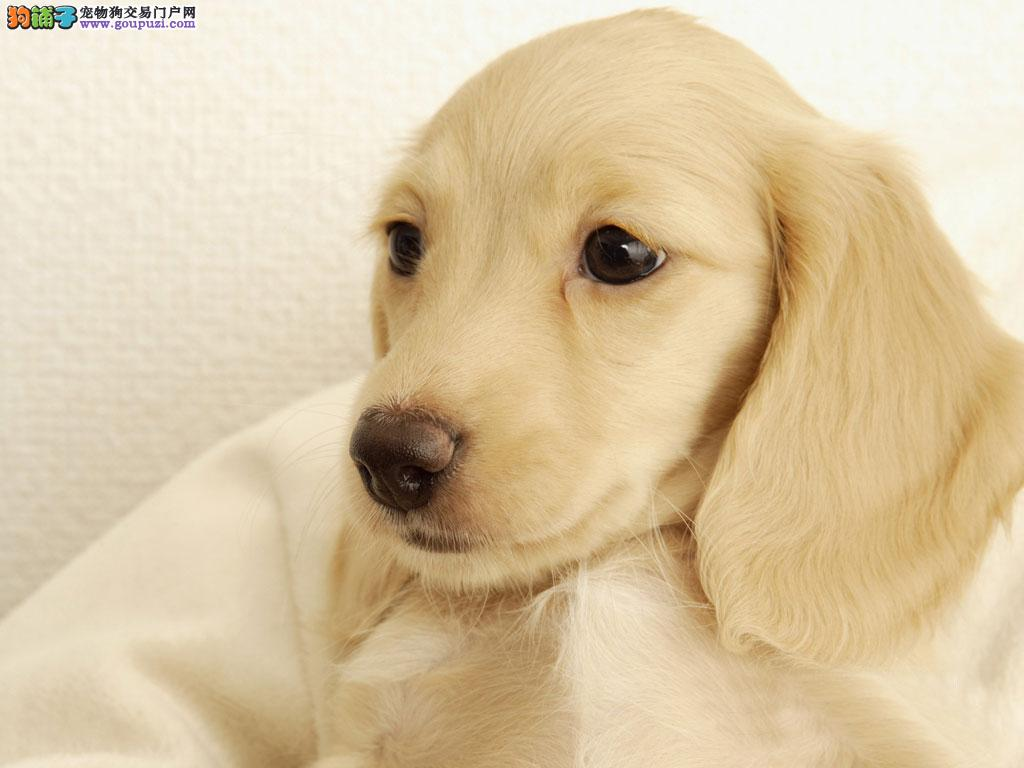 腊肠狗 铁包金腊肠 上海哪里卖腊肠狗 宠物狗 健康