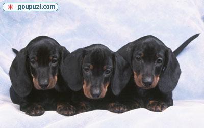广州哪里有卖腊肠犬 腊肠犬什么价格 纯种腊肠犬