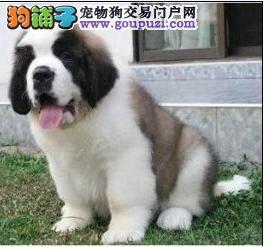 南昌实体店出售精品圣伯纳保健康微信选狗直接视频