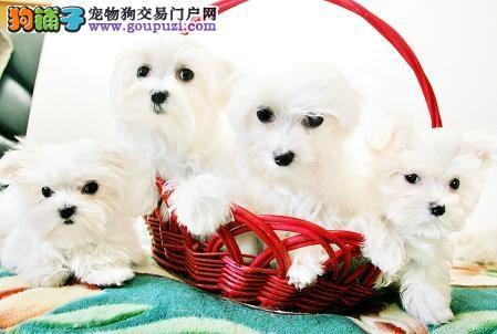 CKU犬舍认证出售高品质福州马尔济斯微信咨询看狗狗视频