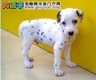 出售宠物狗 家养大麦町 斑点犬 纯种幼犬可爱狗狗