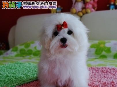 出售最新潮的狗名贵血统的玛尔济斯犬找新家
