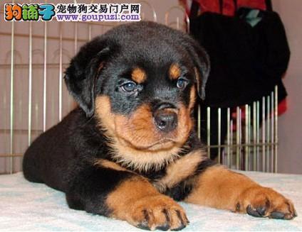 健康纯种的罗威纳幼犬欢迎上门挑选