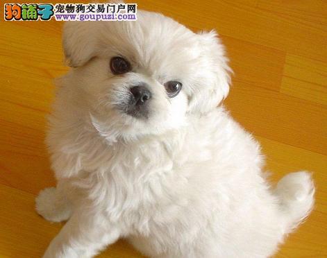 精品赛级京巴 CKU认证犬舍 喜欢加微信