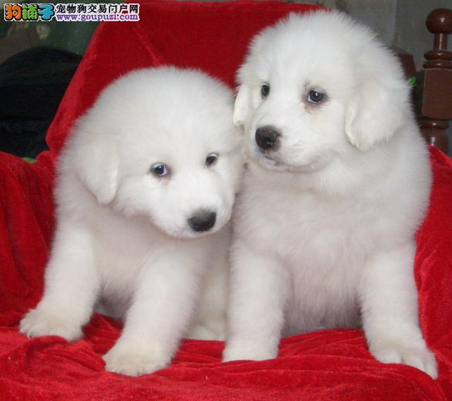 大白熊幼犬王者风范品相纯正保证健康
